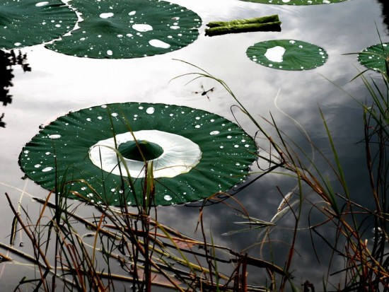 venetian-gardens-lily-pads