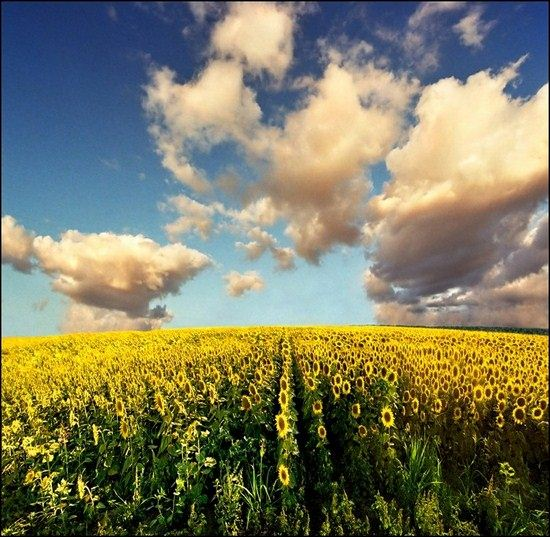 yellow flowers field landscape