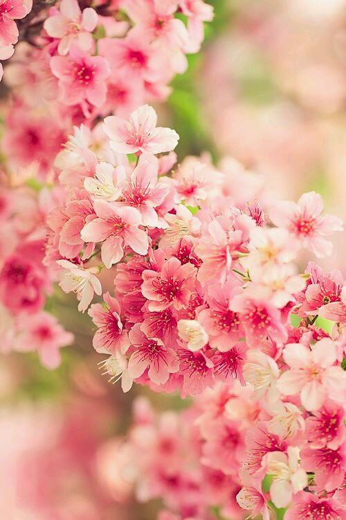 cherry blossom photography