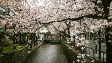 cherry-blossom-photography-33